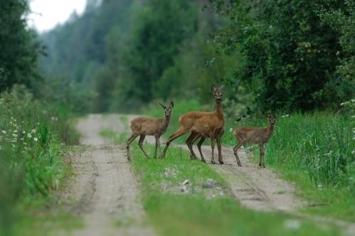 Deer Control Dorset and Hampshire