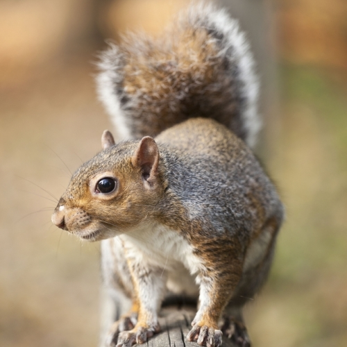 Grey Squirrel Control Poole Bournemouth Dorset Hampshire