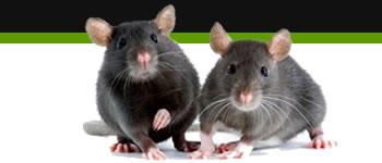 Bg Middleright Rats