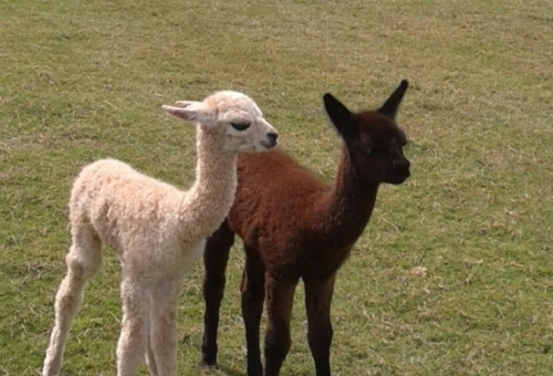 Alpaca Wool Suppliers UK