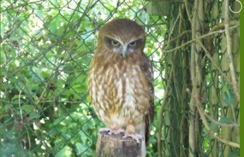 Boo the Boobook Owl