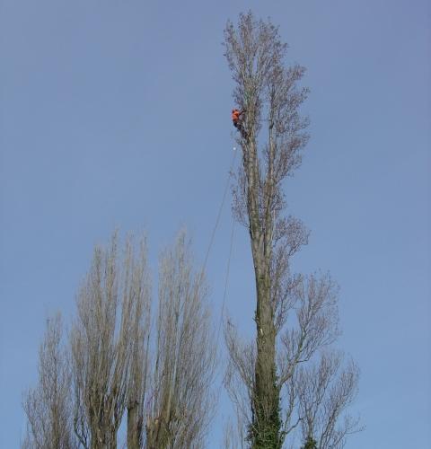 Big Poplar